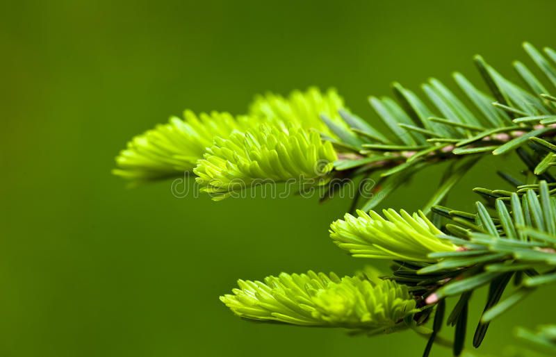 Download Young pine stock image. Image of macro, flora, backgrounds - 14184621