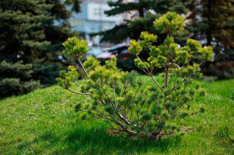 Young pine bush. Growing in the garden royalty free stock image