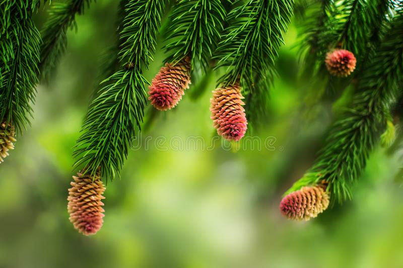 Young pine cones on the branches of a pine tree. Natural blurred background with coniferous plant at spring season royalty free stock photos