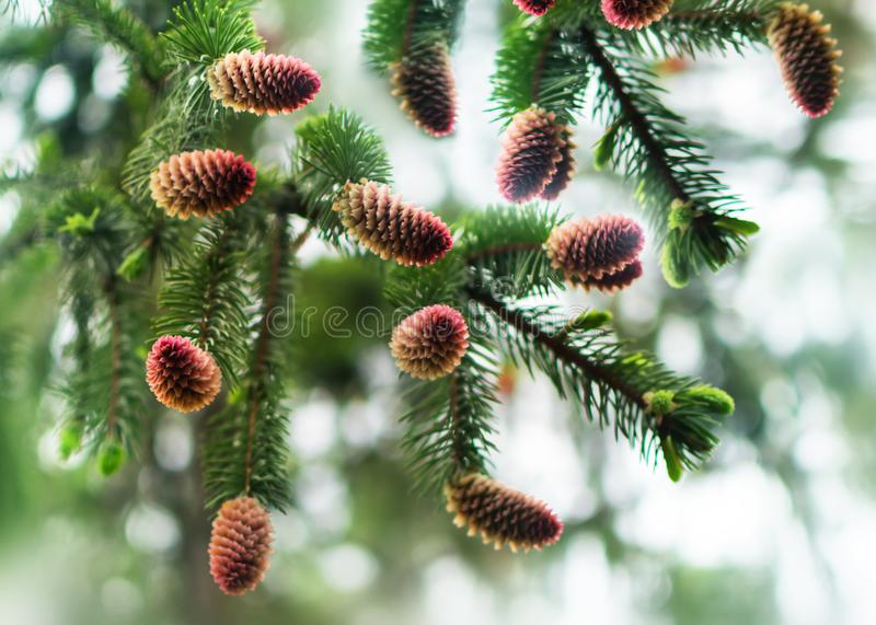 Young pine cones on pine tree branches. Natural blurred background with coniferous plant at spring season. Harvest of. Cones royalty free stock photos