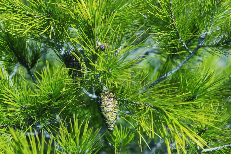 Young pine cones on the tree. Green natural background. stock images