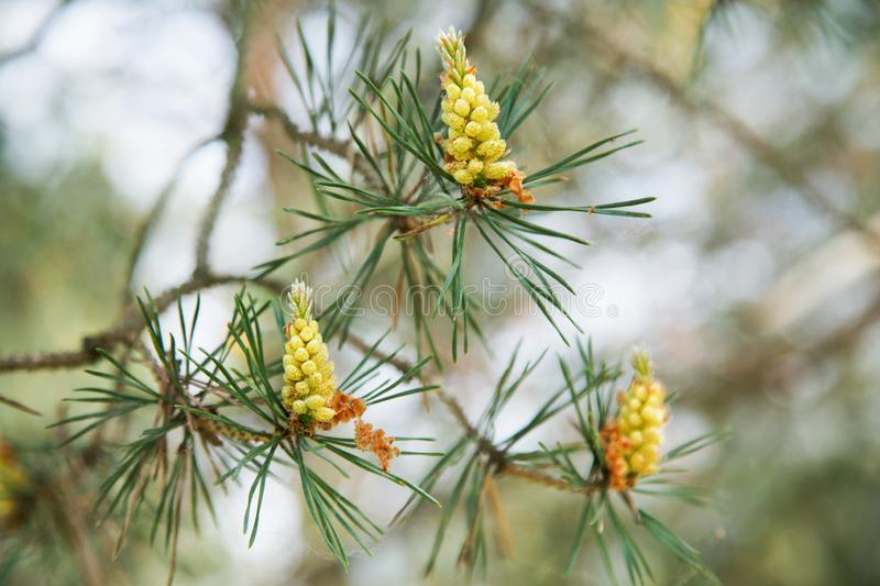 Young pine cones on a tree in the spring. Afternoon stock image