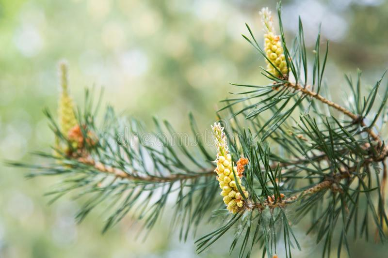 Young pine cones on a tree in the spring. Afternoon stock photo