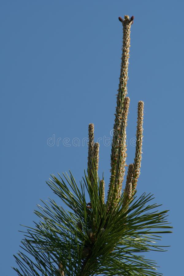Young pine shoot on blue sky background stock image