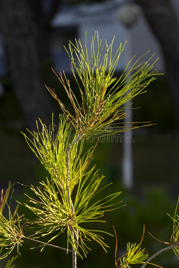 Young pine tree in dawn lighting. Young pine tree macro shot in dawn lighting stock photos