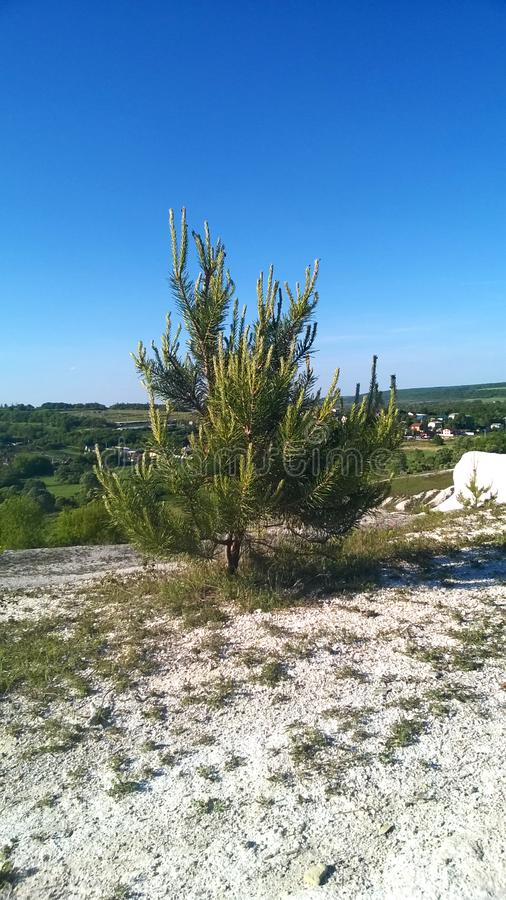 Young pine trees at the foot of the chalk hills. The archaeological monument - Krapivinskaya settlement, Belgorod region. Young pine trees at the foot of the stock image
