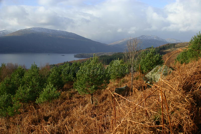 Young pine trees planted in Loch Lomond and the Trossachs National Park from Craigiefort, Stirlingshire, Scotland, UK stock photo