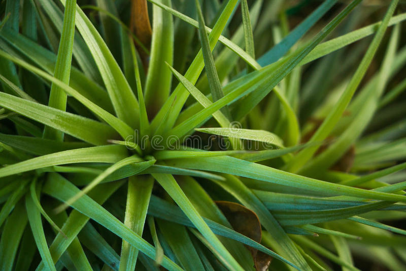 Young Pineapple Plants royalty free stock photography