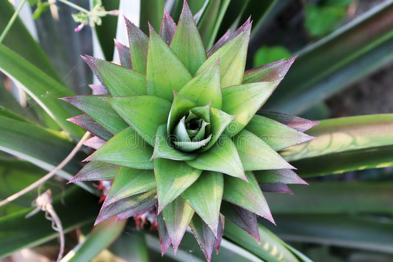 Young pineapple shoot on a bush in red and green leaves, Pineapple growing on a bush. Tropical fruit in the garden. Pineapple in. The field in the place of stock image