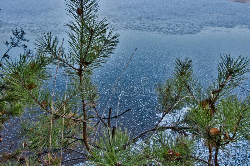 young pines on the river bank. winter river covered with shiny ice and frost. ice and snow on the river royalty free stock photo