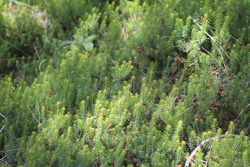 Young pines sapling tree sprout in forest. stock image