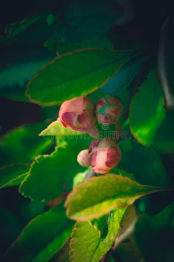 Young pink buds of rose hips royalty free stock images
