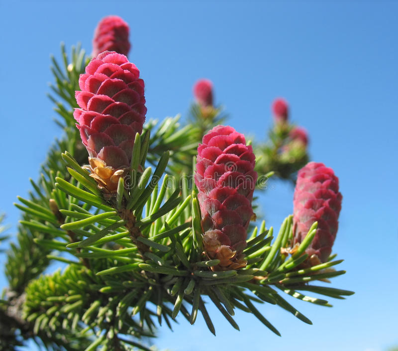 Young pink fir cones stock image
