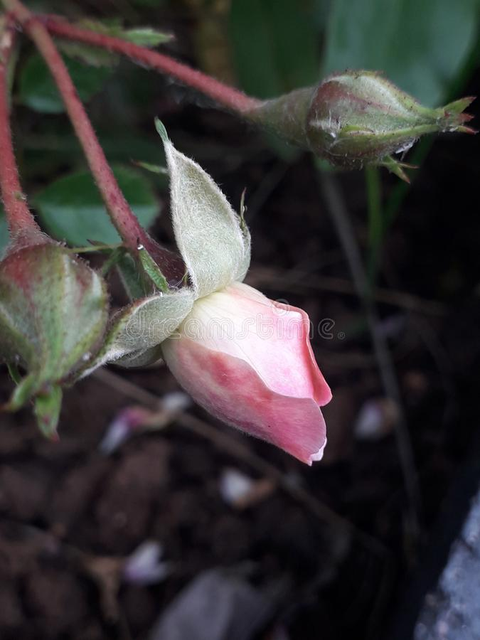 Young pink rose bud newly growing royalty free stock photos