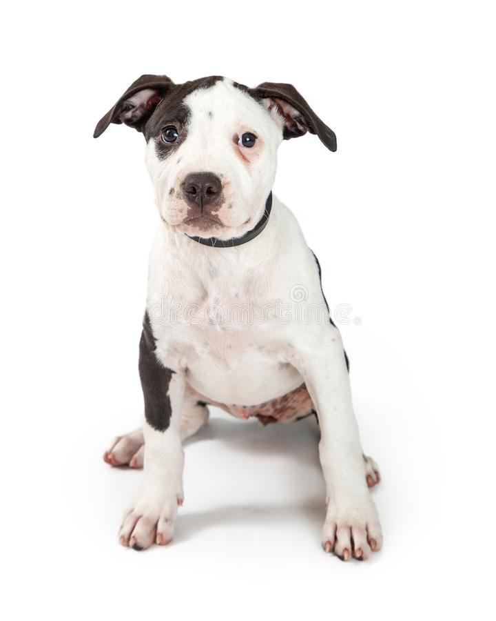 Young Pit Bull Terrier Puppy Sitting royalty free stock image