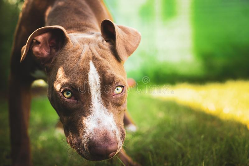 Young pitbull Staffordshire Bull Terrier in garden looks towards camera background portrait royalty free stock photos