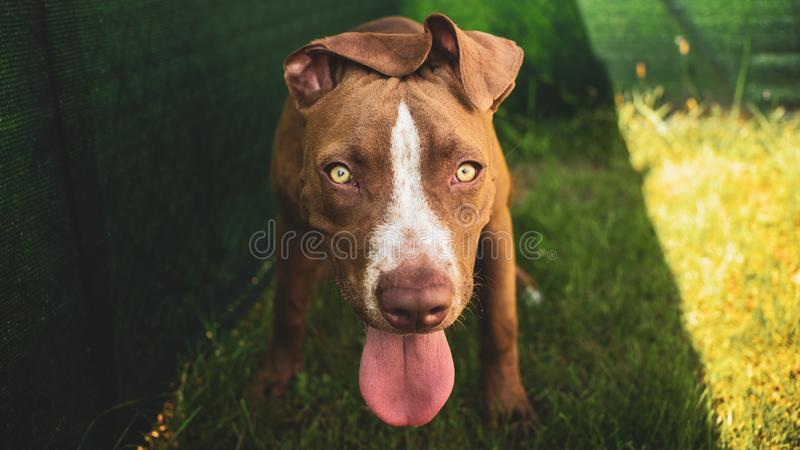 Young pitbull Staffordshire Bull Terrier in garden looks towards camera with tongue out stock images