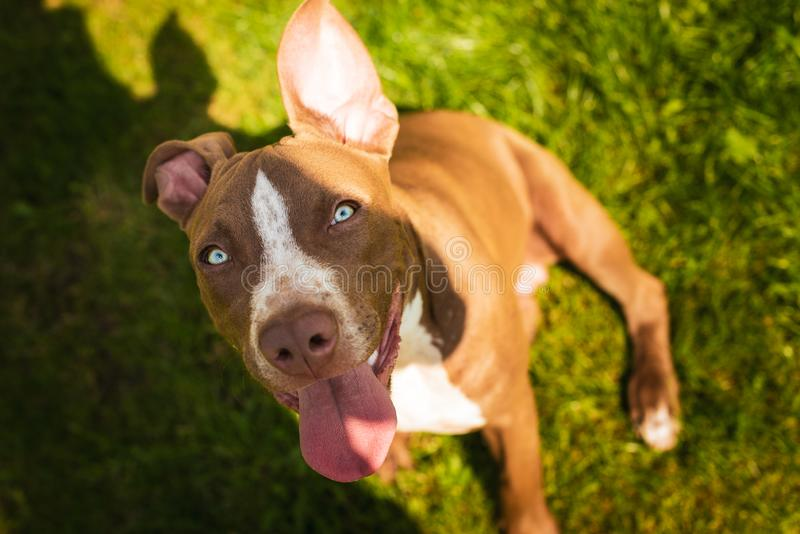 Young pitbull Staffordshire Bull Terrier in garden looks towards camera with tongue out royalty free stock photo