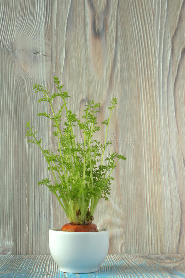 Young plant of carrots, seedling into toy pail pot on wooden background. Soft selective focus, rustic backdrop. Winter royalty free stock images