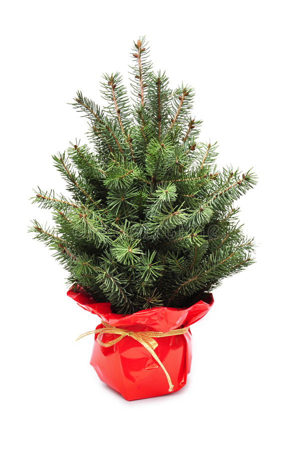 Download Young Plant Of Christmas Tree Stock Image - Image: 22525841