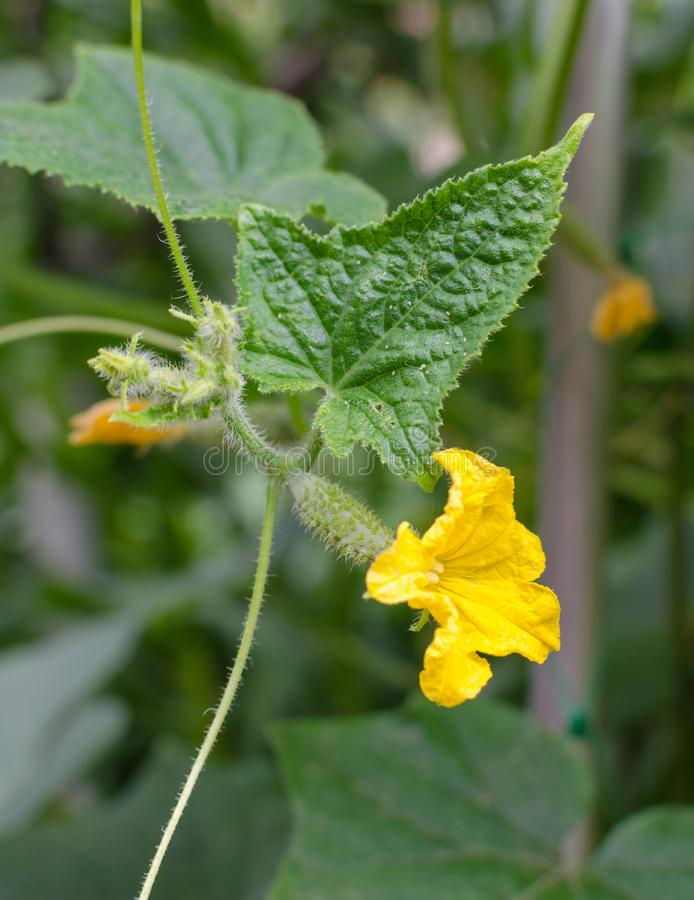 Young plant cucumber with big yellow flower on the background of leaves in the garden stock image