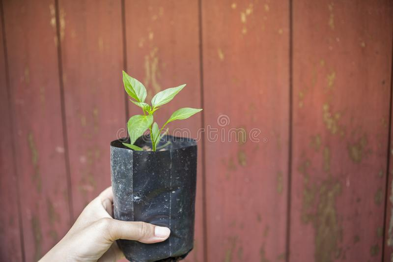 Young plant in girl hand over old red wooden wall background royalty free stock photography