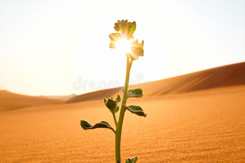 A young plant growing on a dry desert land at sunrise. Rebirth, hope, new life beginnings and spring season concept. A young plant growing on a dry desert land royalty free stock image