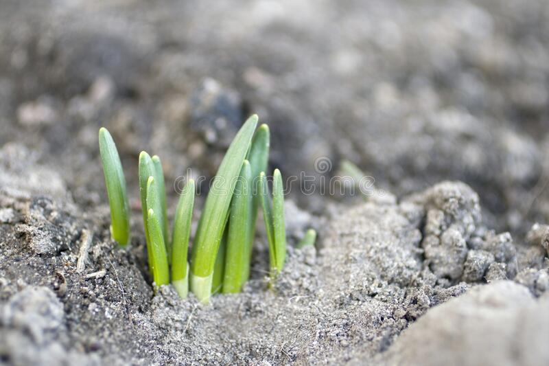 Young plant growing out from soil on a spring day.  stock photography