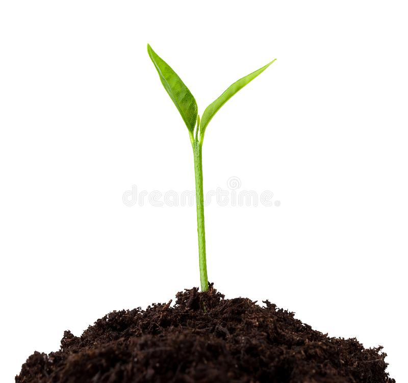 Young plant growing from soil, sprout isolated on white background. Clipping path stock photo