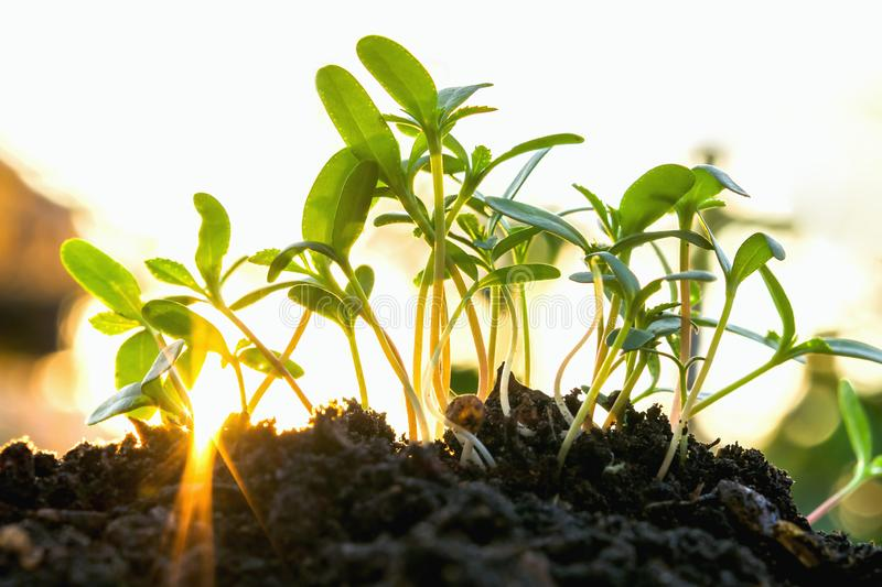young plant growing with sunlight royalty free stock photo