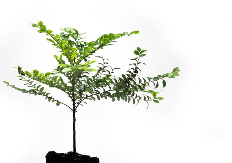 The young plant grows from a fertile soil, isolated on a white background stock photo