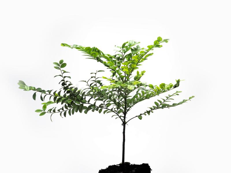 The young plant grows from a fertile soil, isolated on a white background royalty free stock photography