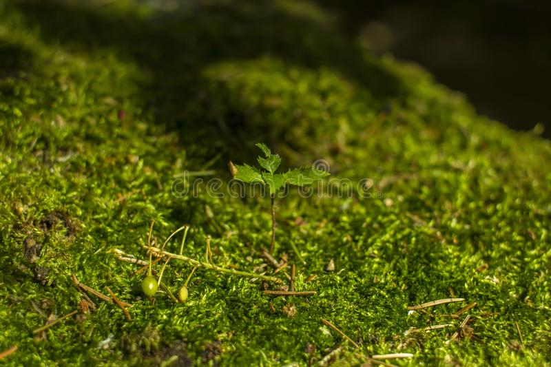 A young plant grows on green moss in the forest.  stock photo