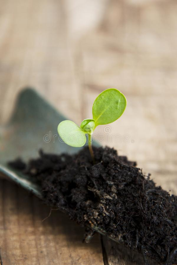 Young Plant Growth in Soil Gardening, Garden Tools. Wooden Background. Rustic Style. Copy space. royalty free stock images