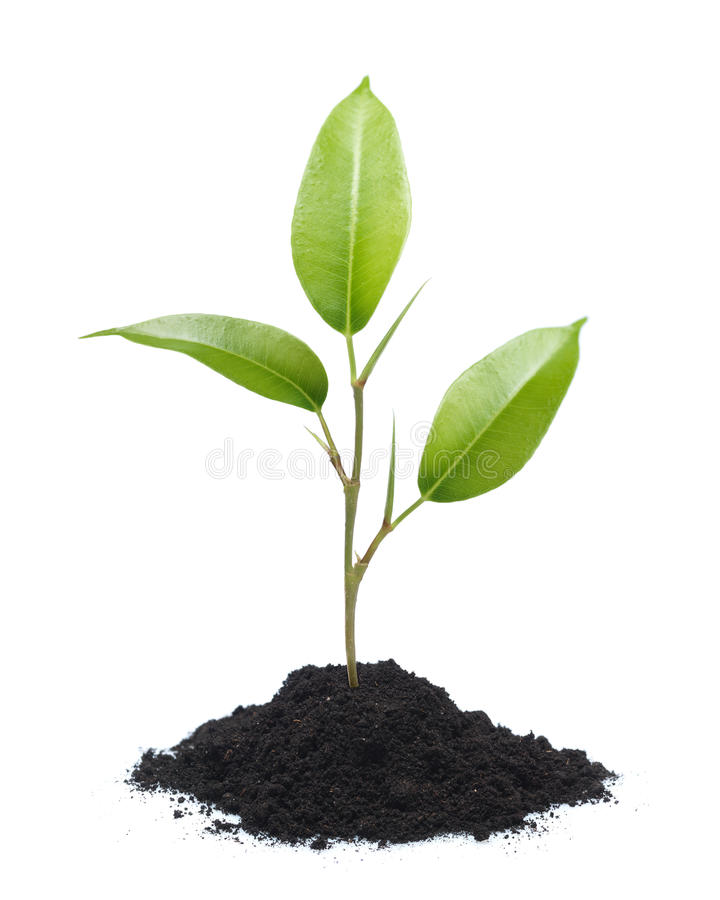 Young plant isolated royalty free stock images
