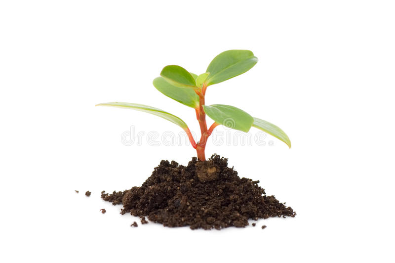 Young plant isolated on white royalty free stock photos