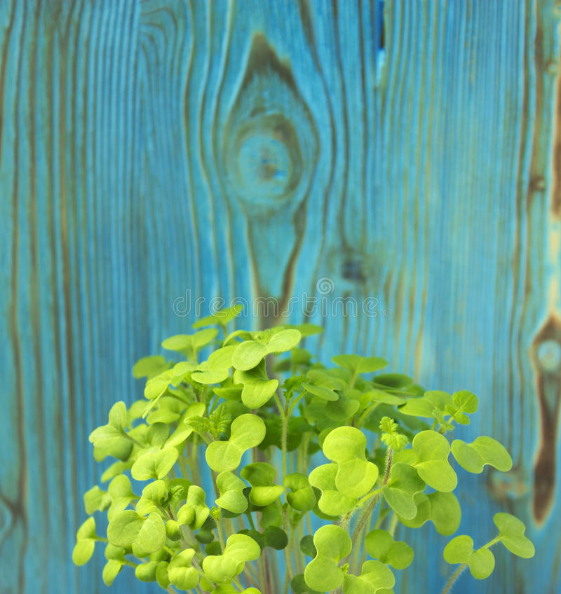 Young plant of mustard royalty free stock images
