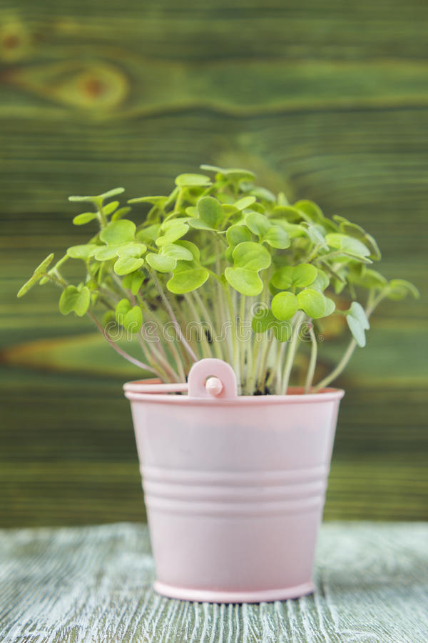 Young plant of mustard stock photos