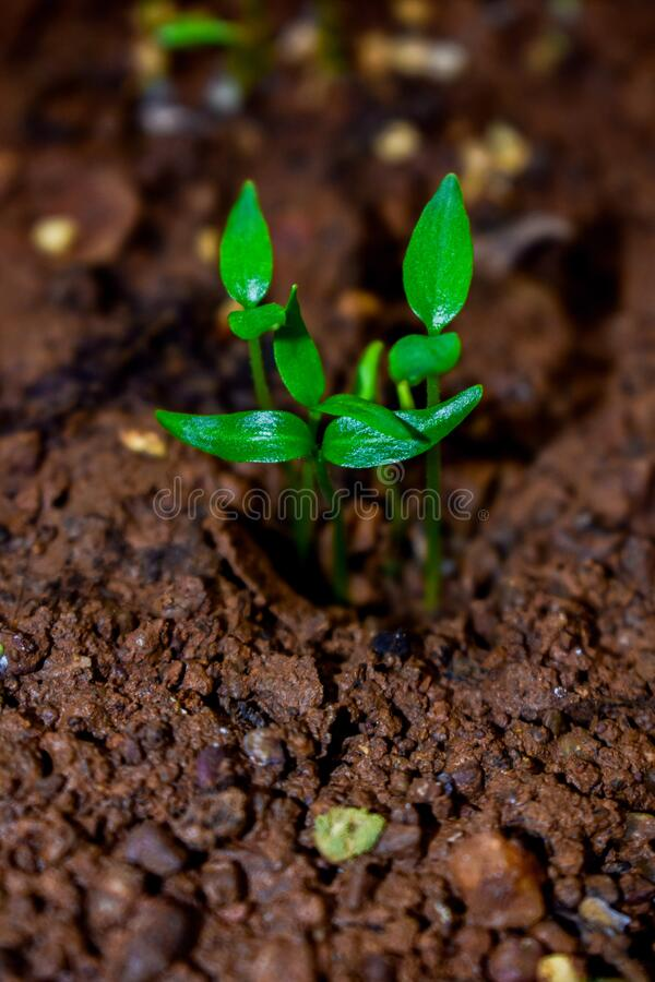 Free Young Plant Of Chilli In A Soil Humus With Green Leaves Royalty Free Stock Image - 198096106