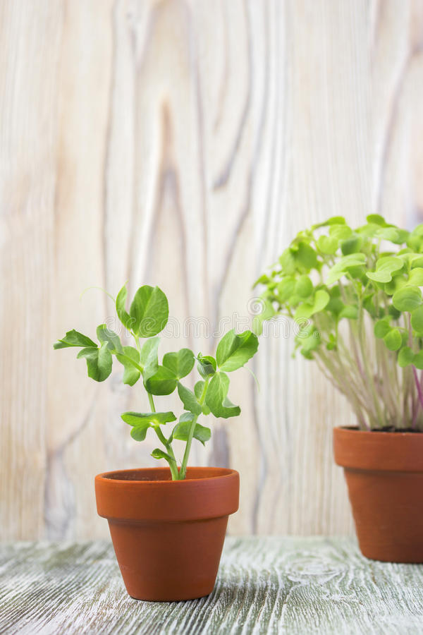 Young plant of pea royalty free stock photos