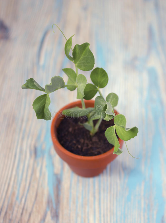 Young plant of pea, seedling in small ceramic pot on wooden rustic background. Spring sprouts. Soft selective focus royalty free stock photo
