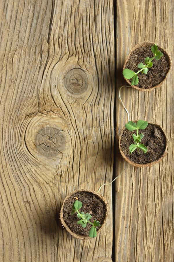 Young plant of pea, seedling in small pot royalty free stock photography