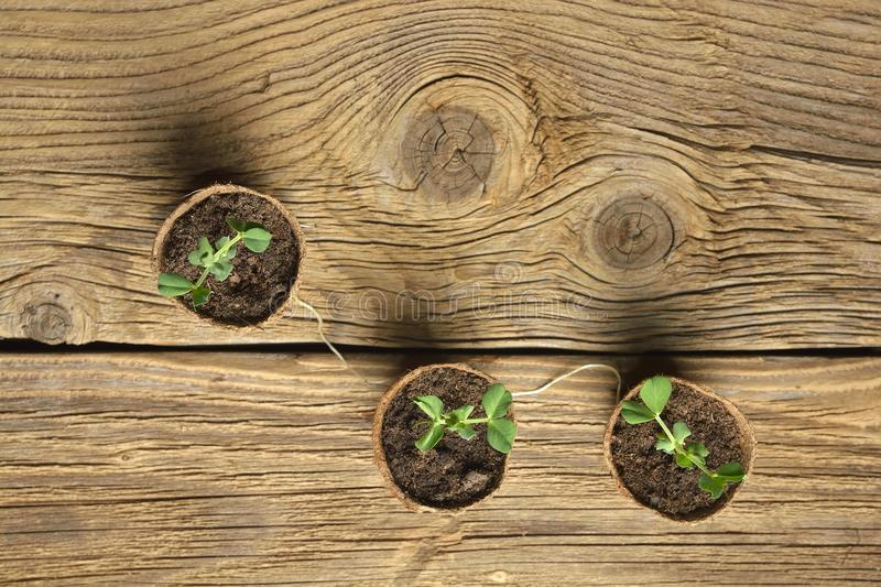 Young plant of pea, seedling in small pot on wooden background. royalty free stock photography