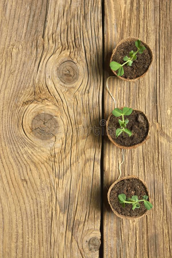 Young plant of pea, seedling in small pot on wooden background. stock photography