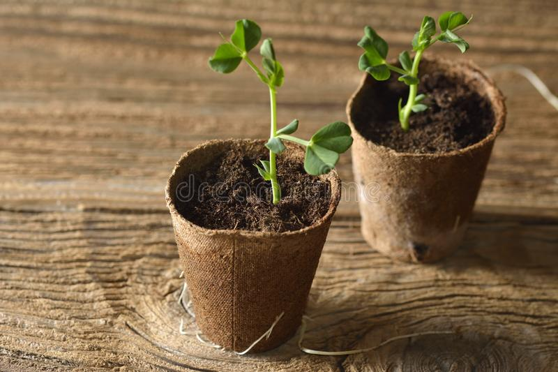 Young plant of pea, seedling in small pot royalty free stock photo