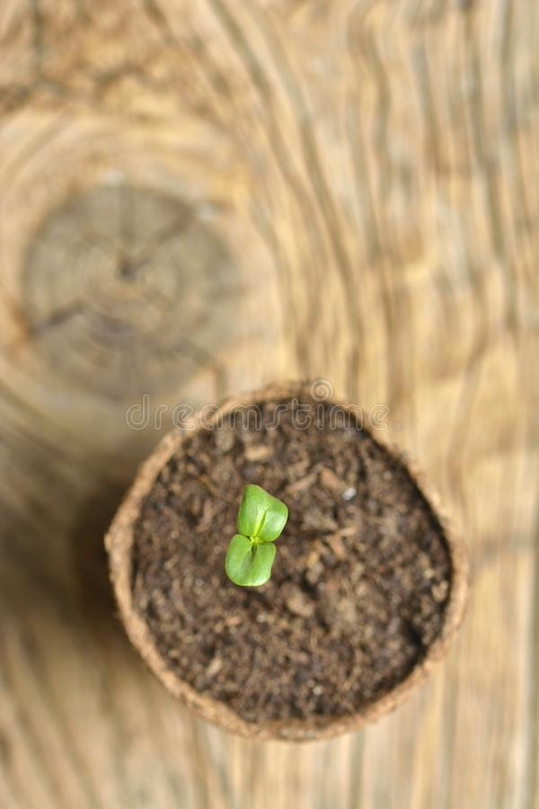 Young plant of pea, seedling in small pot royalty free stock photos