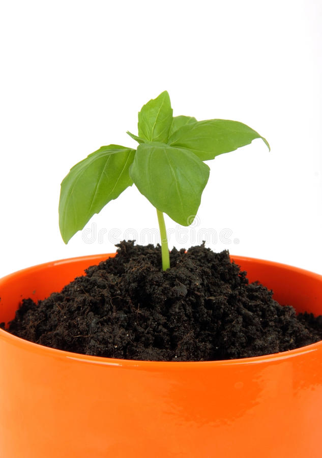 Download Young plant in the pot stock photo. Image of cultivation - 27009248