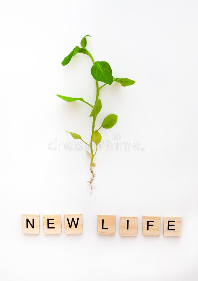 A young plant with a root is isolated on a white background and the words are from wooden letters eco, natural, new life. Flat lay. Top view. Copy space. The royalty free stock photography