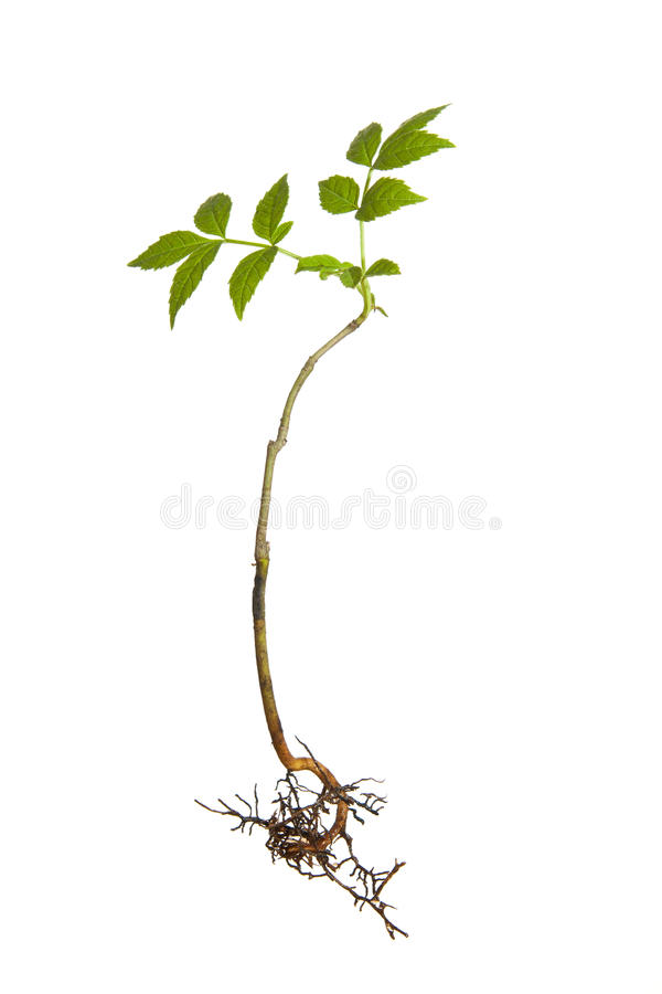 Young plant with roots stock photo