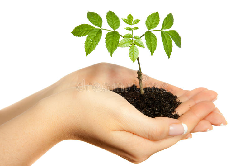 Download Young plant in woman hands stock image. Image of holding - 14203869